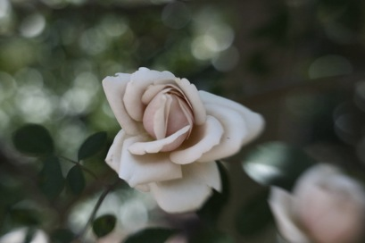 a classic rose with the Lensbaby
