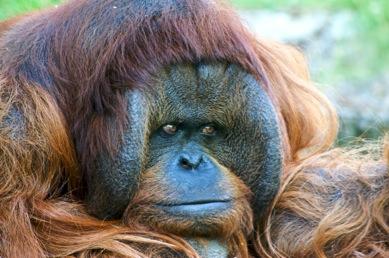 closeup of an orang-utan