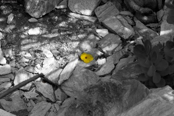 selective coloring of a flower
